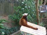 Ein roter Panda