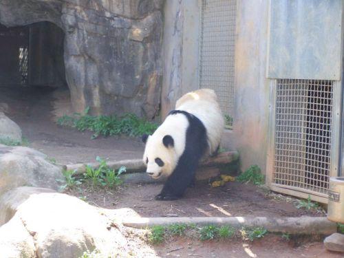 """Der """"richtige"""" Panda"""