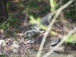 Ein Alligator